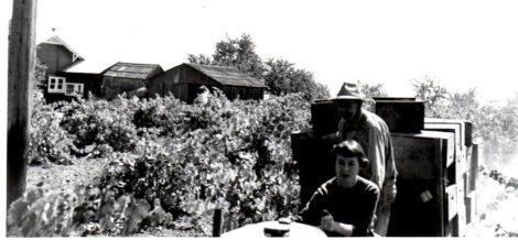 Helen Bacigalupi - first harvest 1956